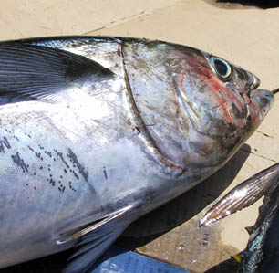 East Cape Tuna